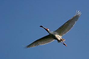 spoonbill flight